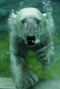 animal-picture-polar-bear-swimming2-ucumari-animalpicture