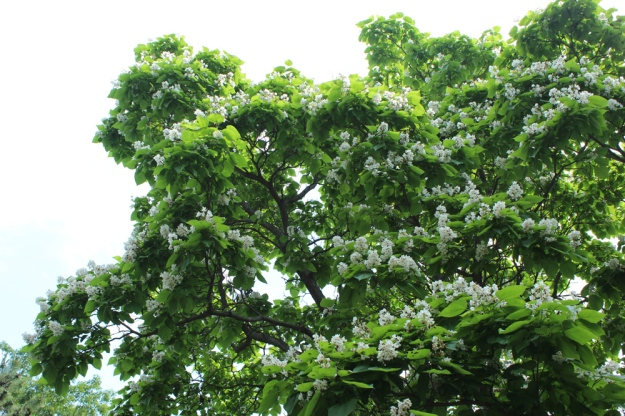 Catalpa blooming